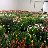 About Boots Flower bulbs Export