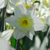 Hyacinths