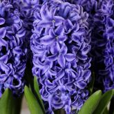 Hyacinths and summer flowering bulbs