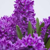 Hyacinths and other spring flowering bulbs