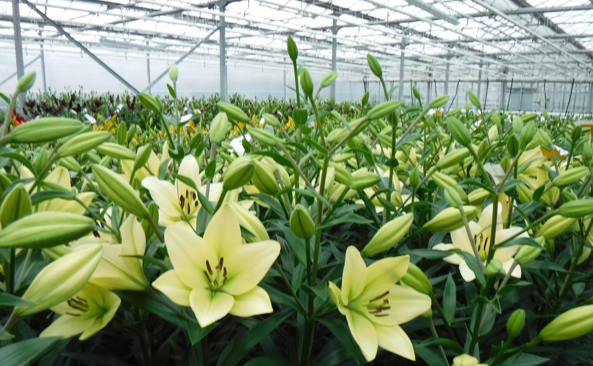 Boots LA Lilies greenhouse